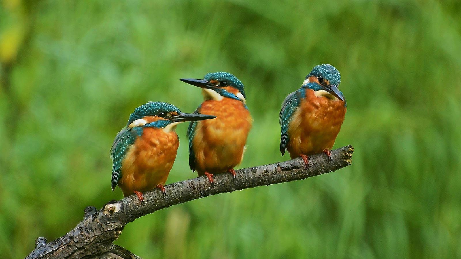 IJsvogels in de Bovenlanden