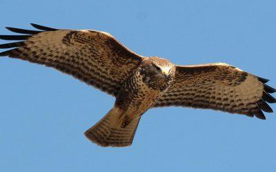 Roofvogels boven De Bovenlanden